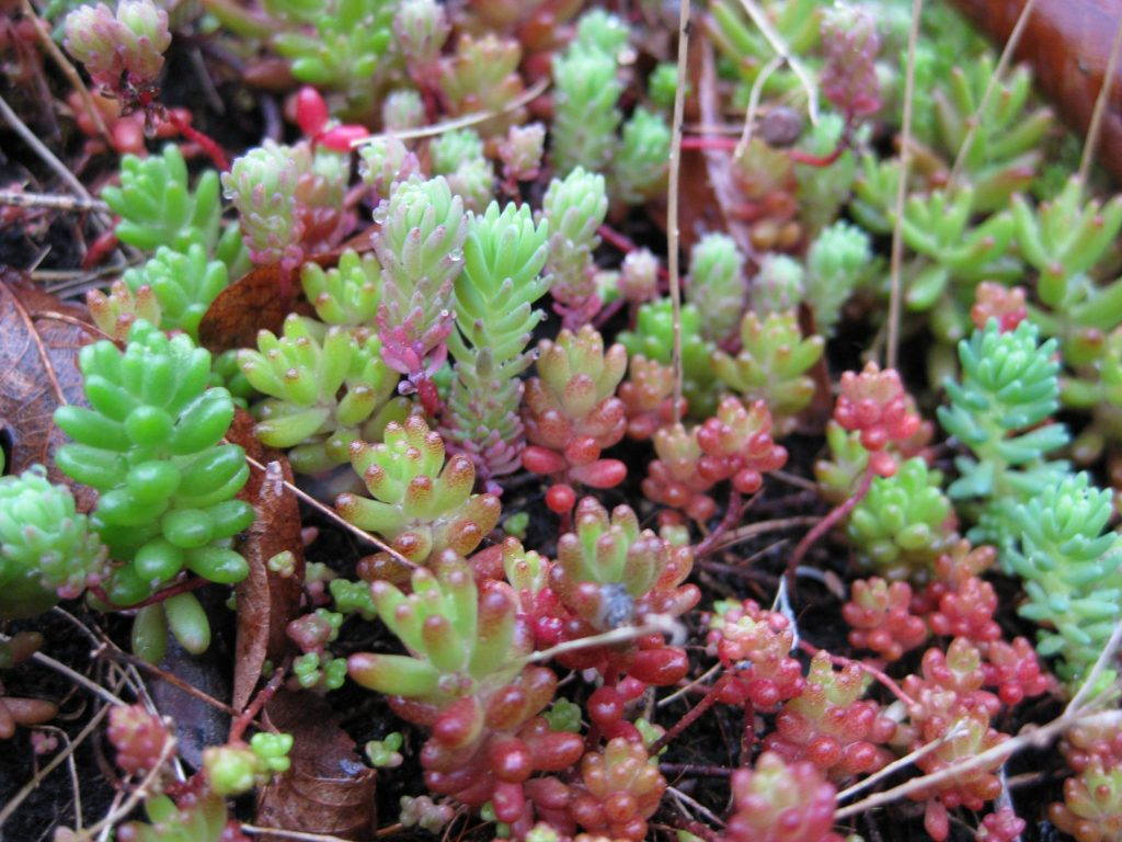 wat is sedum